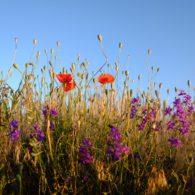 flower field by Mehmet Kursat Deger